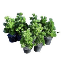 Sötétzöld műnövény fekete műanyag cserépben 6x17cm Aspen